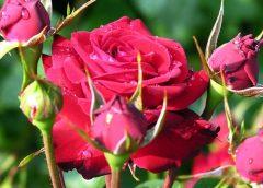 szkółka róż - najlepsze sadzonki róż
